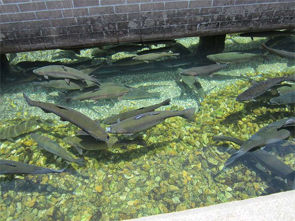 shepherd of the hills fish hatchery branson tourism center