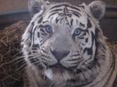 National Tiger Sanctuary Photo #4