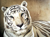 National Tiger Sanctuary Photo #4